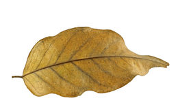 A Brown leaf isolated. On white background Stock Image
