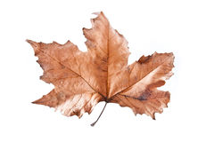Brown leaf isolated. A brown leaf from a tree isolated on white background Royalty Free Stock Photos