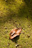 Brown leaf Royalty Free Stock Photo