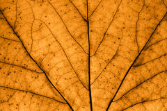 Brown leaf macro Royalty Free Stock Image