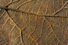 Brown leaf - macro. Brown poplar leaf in the autumn - macro Royalty Free Stock Photo