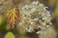 Brown leaf and a smooth Hydrangea arborescens white flowers at summer garden Stock Photos