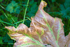 Brown leaf with some green chlorophyll remaining along veins Royalty Free Stock Photo