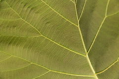 Brown leaf with veins. Stock Photo