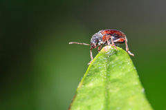 Brown leaf weevil royalty free stock images