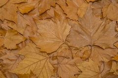 Brown leafs Stock Photos