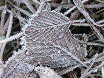 Brown leafs in frost Stock Photos