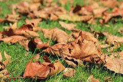 Brown Leafs on Green Grass Stock Images