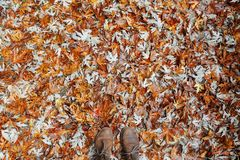 Brown Leather Boots on Brown Orange and White Maple Leaf Stock Images