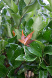 Brown leave clinging to a wet green bush Royalty Free Stock Photography