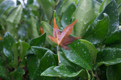 Brown leave clinging to a wet green bush Royalty Free Stock Photo