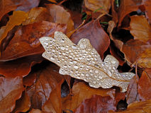 Brown leaves. Fall image with wet brown beech leaves laying on the ground and one oak leaf covered with water drops stock photos