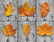 Brown Leaves. Collage of brown leaves on monochrome background royalty free stock image