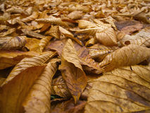 Brown leaves Royalty Free Stock Photo