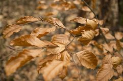 Brown leaves in autumn Royalty Free Stock Image