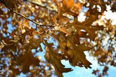 Brown Leaves in Autumn. Brown Leaves Hanging From Tree In Autumn Stock Photos