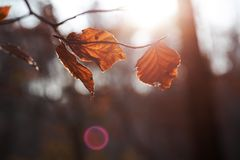 Brown leaves autumn leaf with blurred background royalty free stock photography