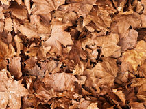 Brown leaves background Royalty Free Stock Images