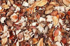 Brown leaves background Royalty Free Stock Photography