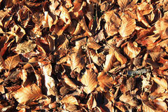 Brown leaves and beechnuts background. Brown fallen leaves and beechnuts background in spring royalty free stock images