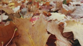 Brown leaves. Close up of faded and brown autumn leaves Stock Photography