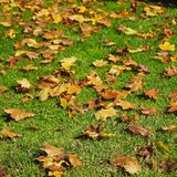 Brown Leaves in Green Grass. Brown leaves contrast with the green grass they have fallen to o0n an autumn day stock images