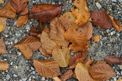 Brown leaves. Fallen brown leaves on ground in winter stock photo