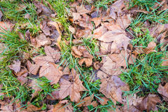 Brown leaves fallen on grass Royalty Free Stock Photography