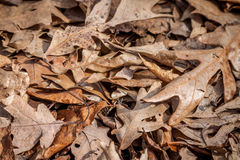 Brown Leaves Royalty Free Stock Photography