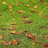 Brown Leaves in Green Grass. Brown leaves contrast with the green grass they have fallen to o0n an autumn day royalty free stock photography