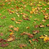 Brown Leaves in Green Grass. Brown leaves contrast with the green grass they have fallen to o0n an autumn day stock photo