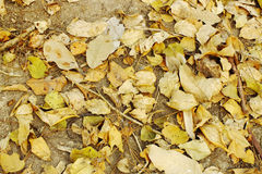 Brown leaves on the ground. Pile of brown leaves on the ground Royalty Free Stock Image