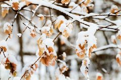 Brown leaves hanging from a tree covered with fresh light snow. Paper like brown leaves hang from tree in winter covered with snow Stock Image