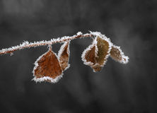 Brown leaves with ice crystals. On gray background Stock Photos