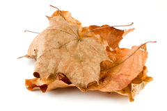 Brown Leaves isolated on a white background. With shadow Royalty Free Stock Images