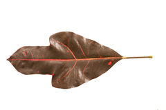Brown leaves on a white background. Brown leaves Stem cuttings red On a white background Stock Image