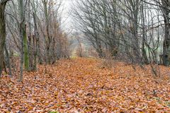 Brown leaves in the woods. The brown leaves in the forest fall during the late autumn Royalty Free Stock Photos