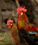 Brown Leghorn hen and rooster Royalty Free Stock Photo