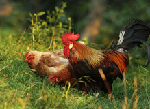 Brown Leghorn hens and rooster Royalty Free Stock Photo