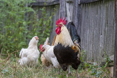 Brown Leghorn hens and rooster Royalty Free Stock Image