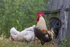 Brown Leghorn hens and rooster Stock Photos
