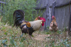 Brown Leghorn hens and rooster Stock Photography