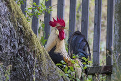 Brown Leghorn rooster Royalty Free Stock Image