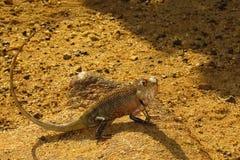 Brown-Leguan auf dem sandigen Ufer stockbilder