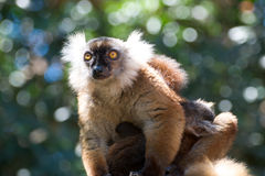 Brown Lemur Stock Photography