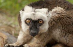 Brown lemur Stock Image
