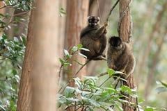 Brown lemur Fotografia Royalty Free