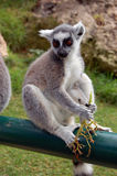 The Brown Lemur. Origins from Madagascar, and lives in forests Stock Photography