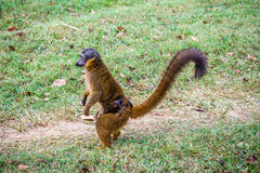 Brown lemur Royalty Free Stock Photography
