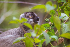 Brown lemur eating Stock Photos